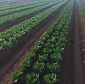 penisula-fresh-cos-lettuce